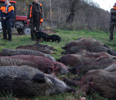 Driven Hunts in Poland Wild Boar Hunts