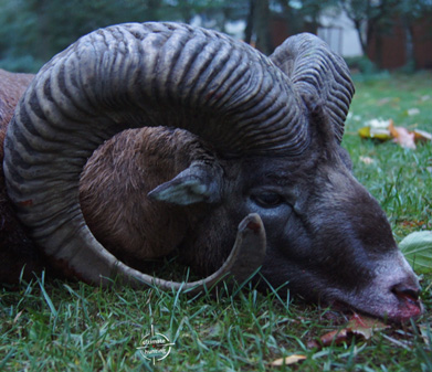 Mouflon hunts in Poland
