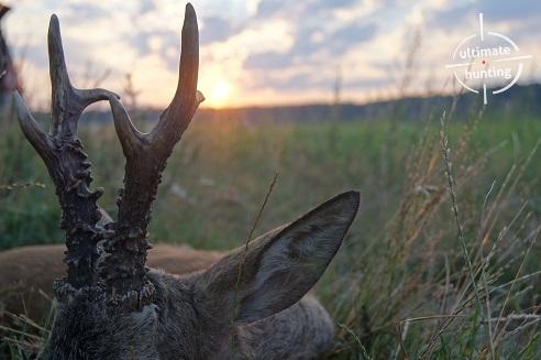 Monster roe bucks from Poland
