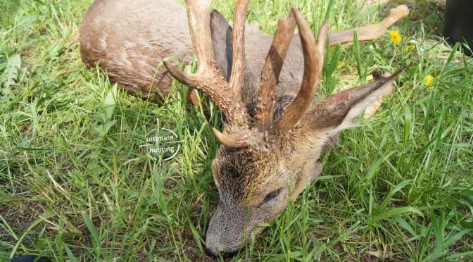 Roe buck season 2016